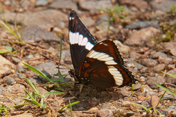The White Admiral is found in northern Minnesota most of the summer, from late May to mid-September.  It has a wing span of 3 to 3½ inches.  This photo shows you both the upper and under wing surfaces; unlike the butterflies above, the white stripe pattern is found on both sides.  The underside of the wing is more of a copper color while the upper wing is black.  This one was in our yard.