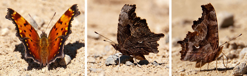 """Many butterflies have very different patterns on their upper wings and their under wings.  This Gray Comma is a good example.  The photo on the left shows the colorful upper wing and the center photo shows the underside of the same butterfly.  Notice the small white curved spot (the comma) on the lower or hind wing.  The photo on the right shows another member of the comma family, the Hoary Comma.  You can see the difficulty in identifying butterflies in the field.  The """"comma"""" on the Hoary is a little thicker and more rounded, and the brown color pattern is somewhat different than on the Gray Comma.  But they don't sit still very long to allow you to see this.  Commas are medium-size butterflies with a wingspan of 1½ to 2 inches.  All three of these photos were taken along a gravel road called Alder Road in Itasca County, Minnesota.<br /> <br /> NOTE: I originally submitted the photo on the right to BugGuide.net and someone identified it as a Hoary Comma.  Later, a different expert pointed out that this is actually an Eastern Comma.  That just empasizes how difficult it is to identify some of these insects.  Earl"""