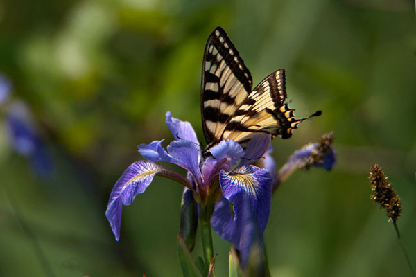 We have Blue Flag Iris growing around the shoreline of our lake.  This Eastern Tiger Swallowtail was making a visit to the flower.  This is a larger butterfly with a wingspan of 3½ to 5½ inches.