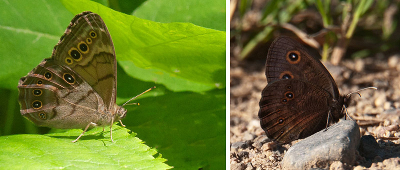 Both of these butterflies have large spots on their wings.  However, the Northern Pearly-eye on the left is lighter brown that the Common Wood Nymph on the right.  They have wing spans of 2 to 3 inches.  The Northern Pearly-eye was in our yard and the Common Wood Nymph was on Alder Road.