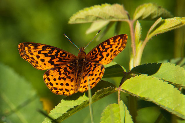 There are many kinds of Fritillaries and this one is the Meadow Fritillary.  It's a little smaller, with a wing span of 1¼ to 2 inches.  True to its name, I found this one by a large field near Big Fork, Minnesota.