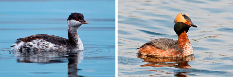 The photo on the left shows a Horned Grebe in its winter plumage; I saw it in Grand Marais last week.  I've also included a photo, taken in spring, of a Horned Grebe in breeding plumage to show the dramatic difference.  It would be easy to think these were two different species.  Most Horned Grebes breed in Canadian marshes.  They spend the winter along the Atlantic and Pacific coastlines.  Therefore, Lake Superior is a good stopover point for them as they make the journey to their winter home.