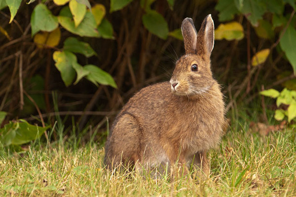 This Snowshoe Hare was feeding along the road at Fenstad's Resort. It still has its brown summer coat which will turn white for the winter.  The black edging on the ears identifies this as a Snowshoe Hare, not a Cottontail Rabbit.