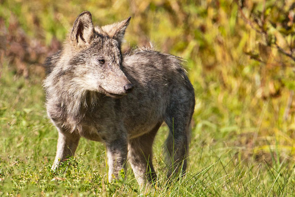 Last week Diana and I made our annual fall trip to the North Shore of Lake Superior.  I was out photographing one morning and came upon this young Gray Wolf along Lake County Road 1, a few miles south of Isabella.  Based on its size, I'm guessing it was a pup born this spring.  It didn't seem uncomfortable having me stop and watch it for a while from the car.  The wolf crossed back and forth and explored both sides of the road.  I followed it for at least half a mile.