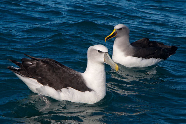 The smaller species of Albatrosses are called Mollymawks.  On the left is a White-capped Mollymawk and on the right is a Buller's Mollymawk.  Many of these species have white bodies and dark wings so the color of the bill and the head become good distinguishing features.  The Buller's (on the right) was the most colorful and probably my favorite species of Albatross.