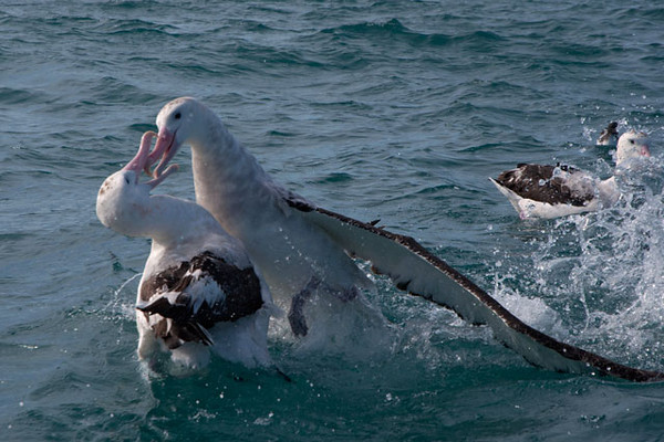 Here is a dispute between two Wandering Albatrosses over who gets to eat first.  These are very large birds so the fights were quite spectacular.