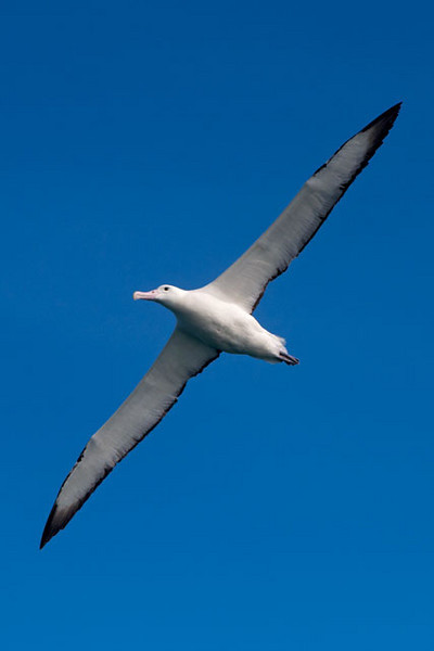 This shows you the wingspan of a Southern Royal Albatross.  The long thin wings of all Albatross species allow them to soar gracefully for hours without ever flapping their wings.  This is a definite advantage because they need to travel very long distances across the oceans in search of food.