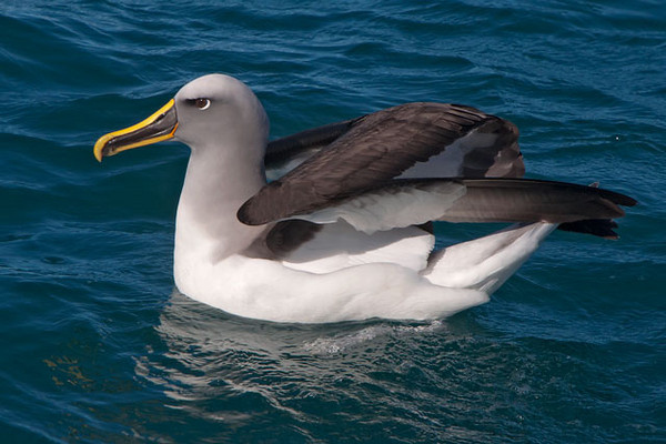 """Here's a photo that shows how Albatrosses fold those long wings when they land.  The wing consists of three parts.  The part that is closest to the body folds backwards.  The middle part folds forward allowing the third part of the wing to fold back under the middle part.<br /> <br /> I have several galleries on my web site showing all my photos from our New Zealand trip.  Here's a link to those galleries.  <a href=""""http://www.earlorfphotos.com/NewZealandTrip-April2011"""">http://www.earlorfphotos.com/NewZealandTrip-April2011</a>"""