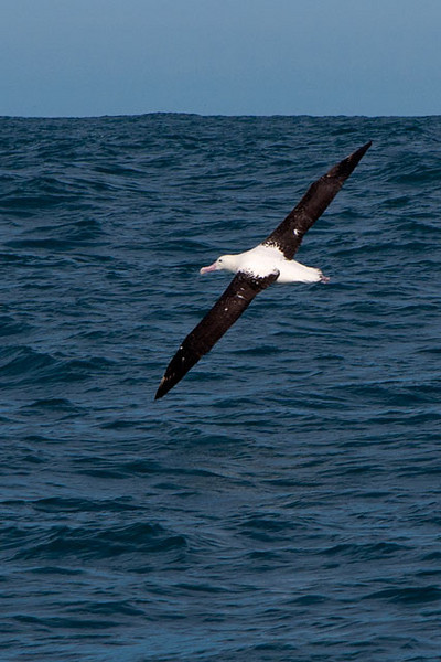 Here is a Northern Royal Albatross.