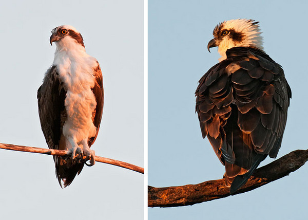 The rich light of the setting sun enhances these photos of perched Osprey.  Both photos were taken at Sanibel Island, the left one at Ding Darling NWR and the one on the right at the lighthouse.  The formidable beak of the Osprey is really evident in the photo at the right.