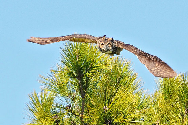 Diana and I like to visit Salinas Park, which is near Cape San Blas, Florida.  I usually see some interesting birds, and this time I was able to get a flight shot of a Great Horned Owl.