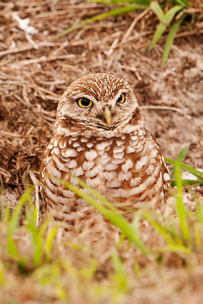 Here's a picture of the owl that was using the burrow in the photo above.