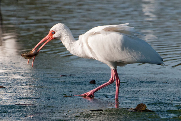 This Ibis snared a small fish.