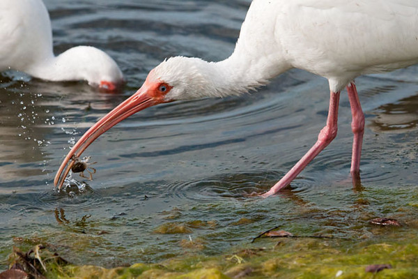 White Ibis use their long, decurved bills to probe around in the shallow water, as the bird in the background is doing.  When they contact a food item, the bill snaps shut.  The bird in the foreground just caught a crab of some kind.