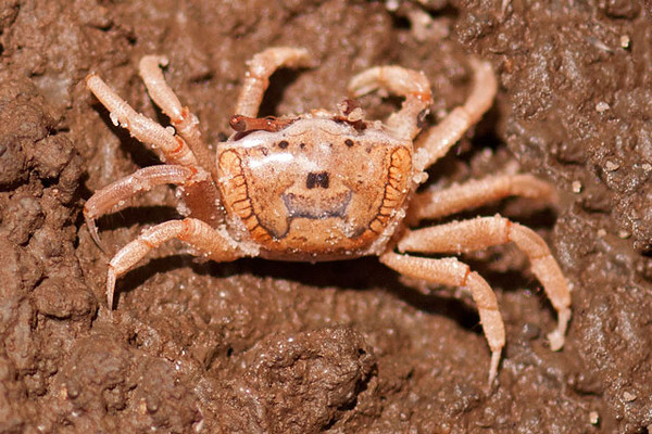 """The lab has a new outside tank for Fiddler Crabs.  They are about 2"""" across and inhabit beaches, mudflats, lagoons, and swamps.  This is a female (see next picture for an obvious difference).  The pattern on her back looks like a sad face."""