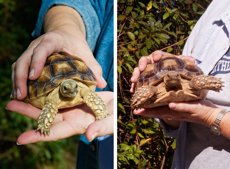 "There are two African Sulcata Tortoises residing at the lab.  The picture on the left was taken a year ago when they were just babies.  Diana could easily hold one of them in the palm of her hand.  The picture on the right was taken this year and the tortoises seem to be about twice as big.  The tortoises haven't changed color; the photos were just taken in different light conditions.  For more information about these animals, here's a link to last year's entry.  <a href=""http://www.earlorfphotos.com/Pictures-of-the-Week/2010-Pictures-of-the-Week/Jan-24-2010-Tortoises-and-Sea/11036591_3rwFe#772120856_Xf6iJ"">http://www.earlorfphotos.com/Pictures-of-the-Week/2010-Pictures-of-the-Week/Jan-24-2010-Tortoises-and-Sea/11036591_3rwFe#772120856_Xf6iJ</a>"