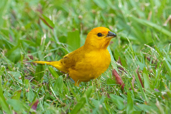Another common introduced species is the Saffron Finch.  It's a small bird, about 7 inches long.  A native of South America, it was introduced in the 1960s.