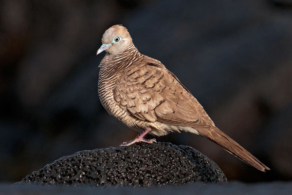 Zebra Doves are very common on the Big Island.  They are smaller than a Mourning Dove, only about 8 inches long.  They were introduced from Asia in 1922.  This photo was taken at Punalu'u Beach Park.