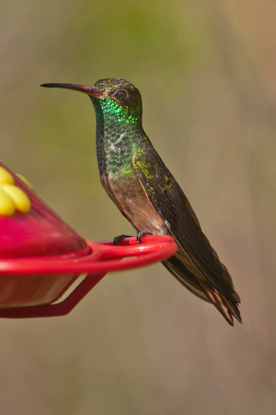 "Buff-bellied Hummingbirds are year-round residents of south Texas.  At 4½"" long, they are a little bigger than our common Ruby-throated Hummingbirds."