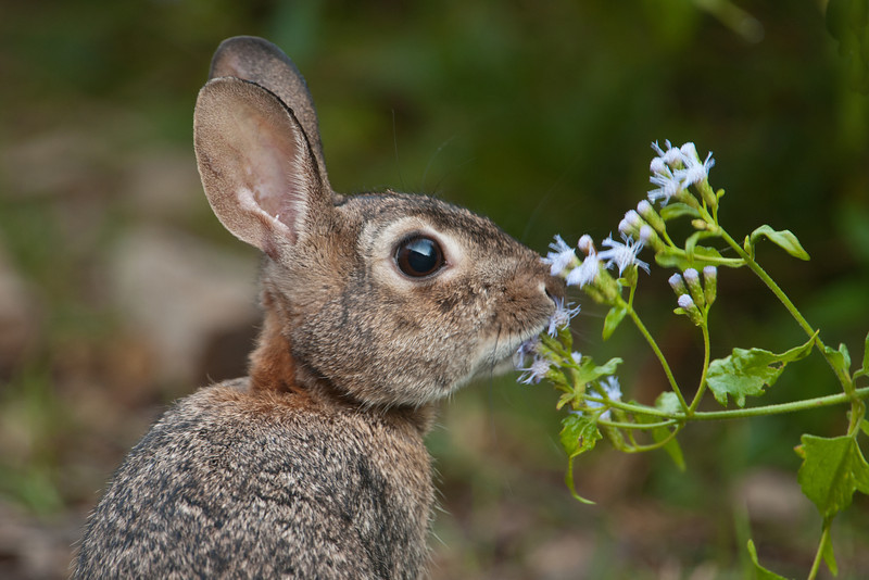 Although it looks like this Eastern Cottontail Rabbit is delicately sniffing the flowers, it was actually eating them.