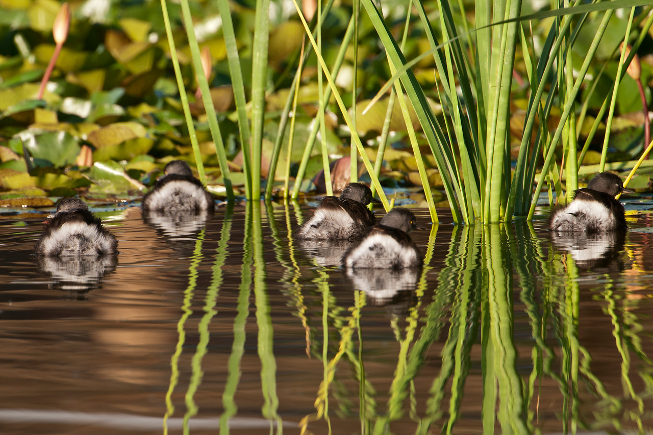 This group of Least Grebes is giving me the cold shoulder.  Their diet consists mostly of aquatic insects.  They catch insects by diving for them and also by picking them off the water and off the vegetation.  One of my books says they have a sneaky way of catching dragonflies.  They approach the dragonfly by swimming under the water.  Then, in a surprise attack, they burst through the surface to catch it.