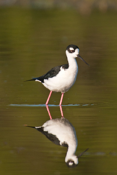 Several Black-necked Stilts were feeding in a pond at Estero Llana.  They always look so delicate, with their long, pink legs and needle-sharp bills.  The calm water allowed me to get a nice reflection of this bird.