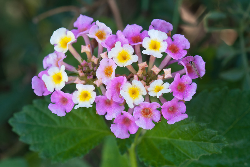 This pretty flower is a Lantana.  I think some varieties are native and others are cultivated, but I don't remember if this one is native or not.