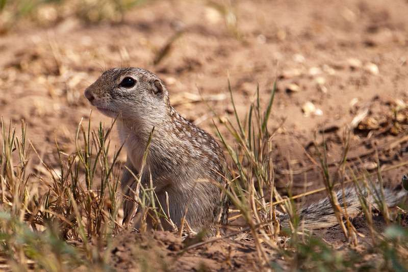 """Minnesotans might be tempted to call this a Gopher, the mascot of the University of Minnesota sports teams.  Actually, it is a Mexican Ground Squirrel, a close relative of our Gopher.  Many Minnesotans don't realize that the official name of the """"Gopher"""" is Thirteen-lined Ground Squirrel.  Calling it a Gopher is better because it's a lot easier to cheer """"Go Gophers"""" than it is to cheer """"Go Thirteen-lined Ground Squirrels."""""""