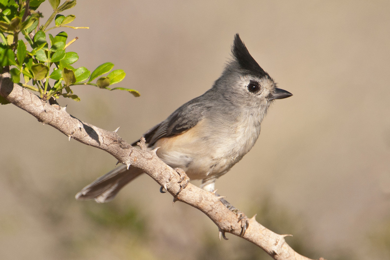 "The Black-crested Titmouse is a perky little bird very closely related to the Tufted Titmouse.  In fact, until about 10 years ago, they were considered the same species.  It's just a little bigger than a Chickadee.  While the Tufted Titmouse is found over most of the eastern United States, the Black-crested Titmouse is only found from southern Oklahoma down through Texas and into Mexico.  <br /> <br /> I have many more good photos from my stay at Tacubaya Ranch.  Click on the following link to see more of them. <br /> <br /> <a href=""http://www.earlorfphotos.com/TexasTrip-OctNov2011"">http://www.earlorfphotos.com/TexasTrip-OctNov2011</a>"