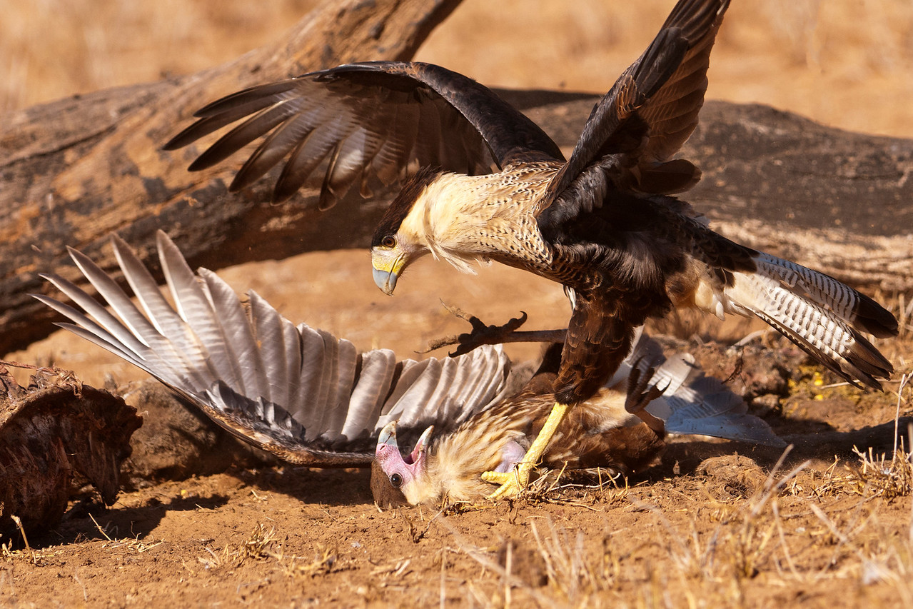 When birds come together to eat, there is always a pecking order.  They know who the dominant individuals are, but sometimes one bird challenges another.  This photo shows a juvenile Caracara on the ground being taught who's boss.  The talon from the bird on top seems to have penetrated the neck of the other bird, making this a painful lesson to learn.  Compare the facial color from the previous photo with the light pink face of the bird on the ground and the yellow face of the bird on top.