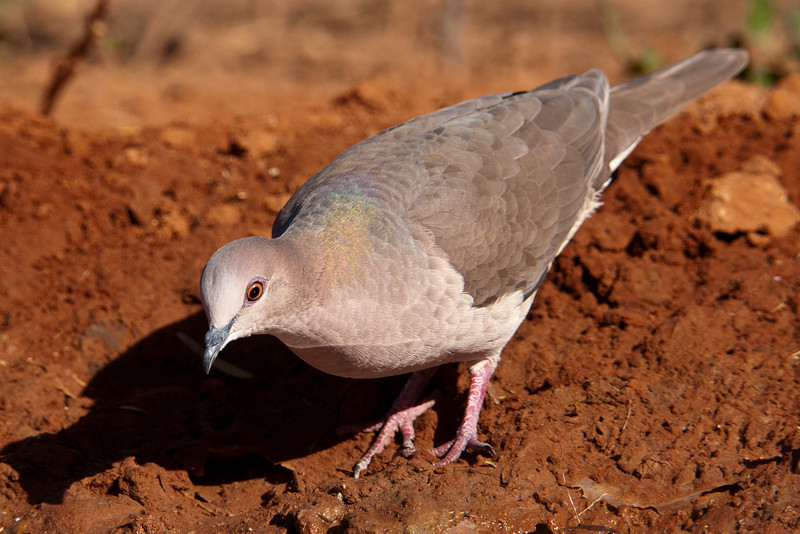 If you want to see a White-tipped Dove in the United States, you need to go to the southern tip of Texas.  They are about the same size as a Mourning Dove but have a shorter tail.  This one came to a pond for a drink of water.