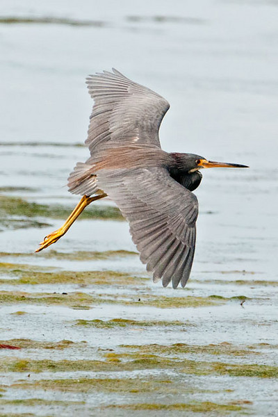 Note the rusty-colored feathers on the back.  Rusty, blue, and white are the three colors that give this heron its name.