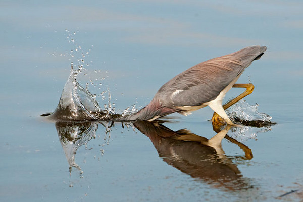 Here is a heron striking at something in the water.  I was fortunate to press the shutter button at just the right moment.  This picture was taken at 1/4000 of a second.