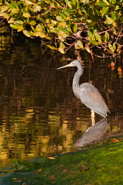 This heron was standing quietly in the early morning light near some mangroves.  In the United States, they are found along the Atlantic and Gulf of Mexico coasts.  They prefer swamps, marshes, shallow estuaries, and coastal bays.