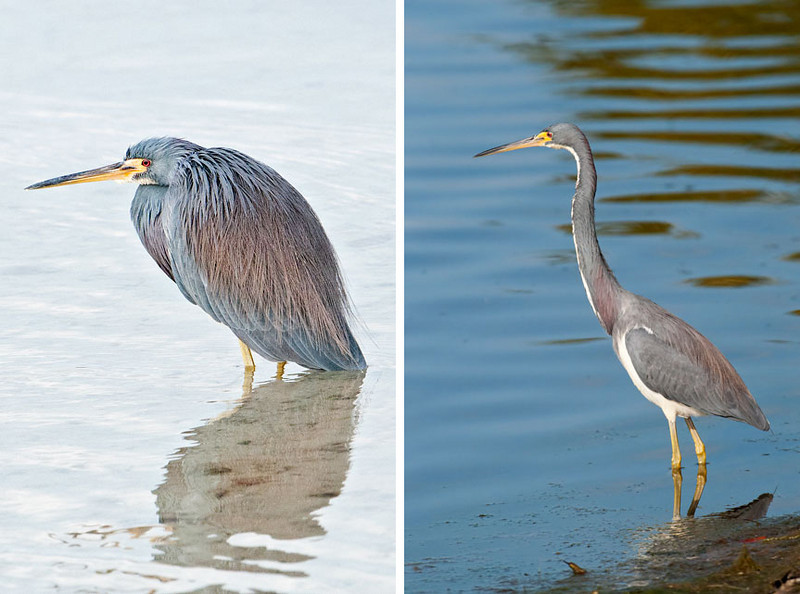 "It's hard to believe these two photos show the same species.  When a Tri-colored Heron stretches out to its full 26"" length, as in the right photo, it looks tall and skinny.  But when it hunkers down, you have to wonder where that long neck went.  All of these photos were taken at Ding Darling NWR on Sanibel Island near Fort Meyers, Florida."