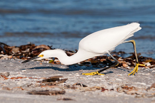 This is the stalking posture taken by another Snowy Egret near the fishing pier.  This species is often called the bird with the golden slippers and you can see why in this photo.  Another feature that isn't often mentioned is the yellow stripe down the back of each leg.