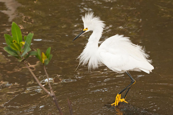 Here's a Snowy Egret standing on a log that extended into the water.  This log was a prized perch and the birds fought over the right to claim it.  During these encounters, the combatants would raise their feathers to appear more impressive.