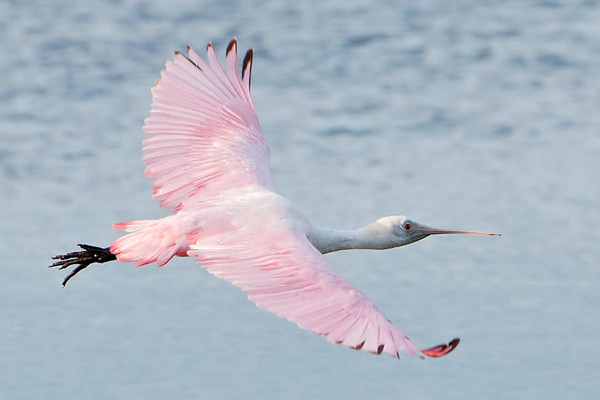 Here's a juvenile Spoonbill in flight.  Notice the red tips on some of the feathers.