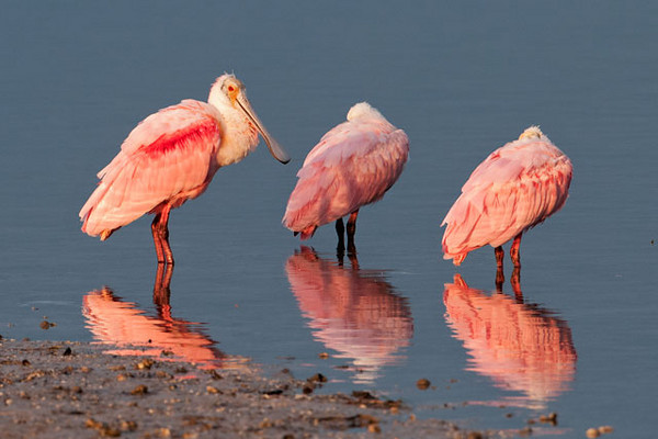 This photo was taken just as the sun was rising.  The low angle of the light makes the pink feathers glow.  I can't think of any other regular North American bird species with pink feathers.  I guess that's another distinctive feature of the Roseate Spoonbill.