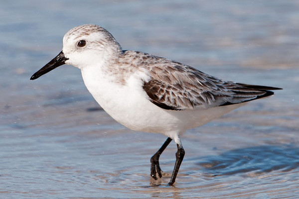 Sanderlings nest in the far northern Arctic tundra.  The female lays her eggs and the male incubates them.  She then goes off to start another clutch of eggs, often with a different male who is then left to incubate the second nest.