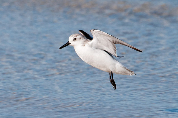 Here is the same bird coming in for a landing.  Both this photo and the previous one were taken on St. George Island, Florida.