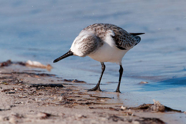 """This Sanderling seems to be examining something very closely.  These last two photos were taken on St. George Island, Florida.  Here's a link to a photo on my web site showing Sanderlings in breeding plumage.  <a href=""""http://www.earlorfphotos.com/Birds/Birds-5/5691214_DJcnf#350827071_VK6gp"""">http://www.earlorfphotos.com/Birds/Birds-5/5691214_DJcnf#350827071_VK6gp</a>"""