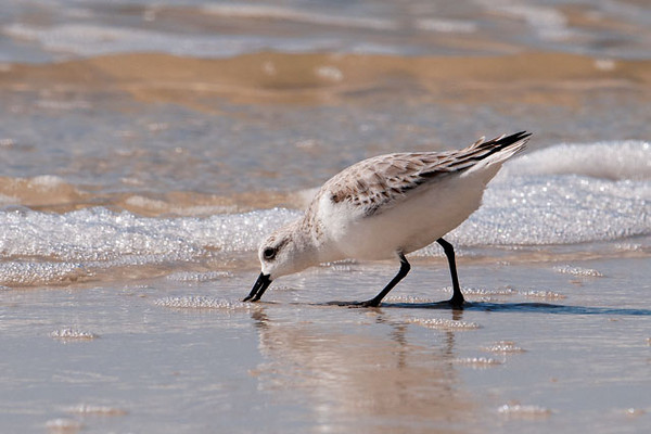 This is how Sanderlings forage.  They like to stay right along the edge of the waves and snap up tiny invertebrates revealed by the receding water.  This photo was taken at Mexico Beach, Florida.