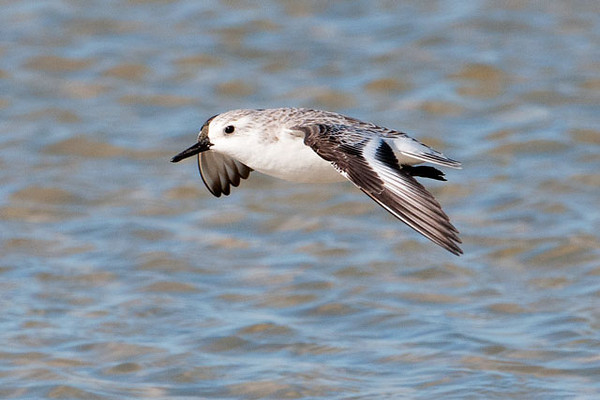 When a Sanderling takes flight, it reveals a surprising amount of color in its wings.  Looking at the previous photos, you wouldn't have expected to see the dark leading and trailing edges of the wing, with a bold white stripe in the middle.