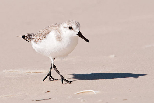 """Sanderlings are small (8"""") shorebirds that are common in winter along the shores of the Gulf of Mexico.  They remind me of little wind-up toys, constantly on the move, following the waves as they roll in and out.  In non-breeding plumage (seen here) their back is light brown and a good match for the dry sand along the beach.  This photo was taken at Mexico Beach, Florida."""