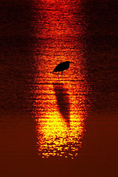 One morning I was driving along the Apalachicola Bay just as the sun was coming up over the horizon.  I came across this Great Blue Heron perfectly framed in the reflection of the sun.