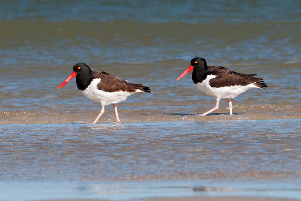 "This is a pair of American Oystercatchers.  They were walking along the beach at St. George Island State Park in Florida.  Their bill is very thin and knife-like.  It comes in handy when an Oystercatcher finds an oyster or mussel that has opened its shell, even slightly. The bill is forced into the shell, cutting the muscle that holds the two halves of the shell together.  This gives the bird a meal of fresh oyster on the half shell.  Oystercatchers are fairly large (18-20"")."