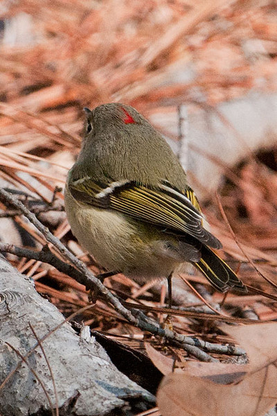 "Ruby-crowned Kinglets are one of our smallest birds: just 4.25"" long.  Only the male has red feathers on his head and they are usually not visible.  When he gets excited, (usually by a potential mate, a rival, or a predator) he raises his ruby crown.  I took this photo at the Tall Timbers Research Station in Tallahassee, Florida, and was able to catch at least a glimpse of the red feathers."