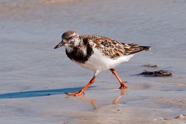 "This Ruddy Turnstone was also along the St. George Island SP shoreline.  It is much smaller than the Oystercatchers, only 9-10"".  This appears to be a female already in breeding plumage.  The male has even brighter reddish feathers on his back, which explains the ""ruddy"" part of its name.  The other part of the name comes from a habit of turning over shoreline debris to look for food."