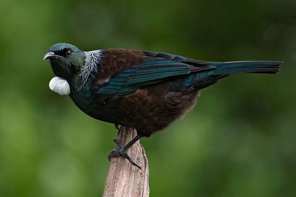 "The Tui is a fairly common native species.  In poor light it can look black with a white ""bow tie.""  In good light you can tell it is actually brown, with beautiful iridescent wings, head, and tail; the ""bow tie"" is two large curled white plumes.  Also note the narrow white feathers that form a lacy collar around the back of its neck.  As a member of the honeyeater family, the Tui depends on flower nectar for much of its food.  This makes it an important flower pollinator.  Tuis also eat a large number of insects, especially when feeding their chicks.<br /> <br /> I have several galleries on my web site showing all my photos from our New Zealand trip.  Here's a link to those galleries.  <a href=""http://www.earlorfphotos.com/NewZealandTrip-April2011"">http://www.earlorfphotos.com/NewZealandTrip-April2011</a>"